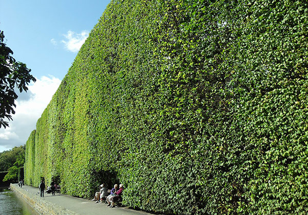 Hedge fence for privacy