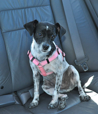 """Who wouldn't love a well behaved dog like this in the car? <a href=""""https://www.flickr.com/photos/8047705@N02/4446634703/"""" target=""""_blank"""" rel=""""nofollow"""">Photo: John Liu</a>"""