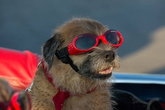 A dog wearing eye goggles
