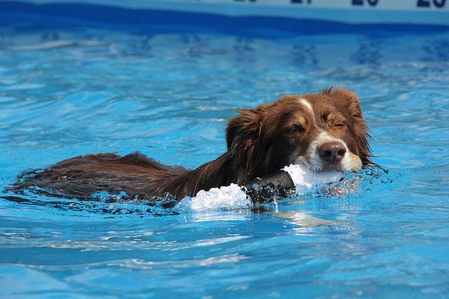 Get your dog swimming to lose weight and build muscle strength.
