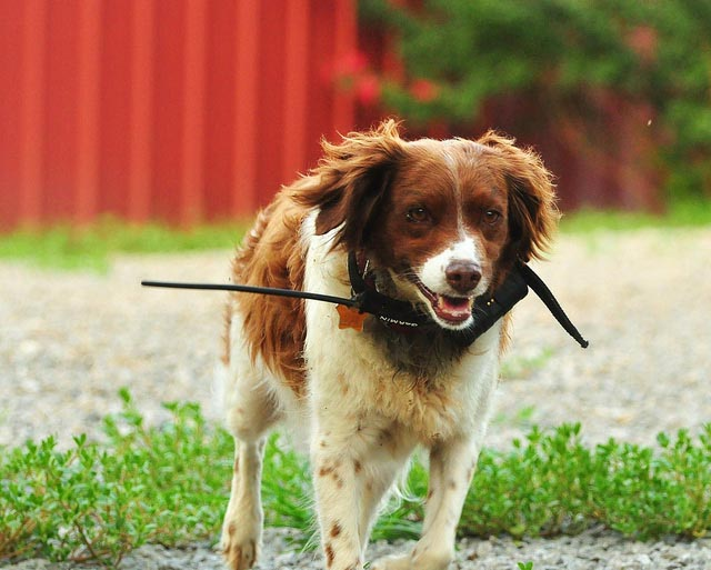 dog wearing gps collar