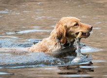 golden retrievers have a natural instinct for swimming