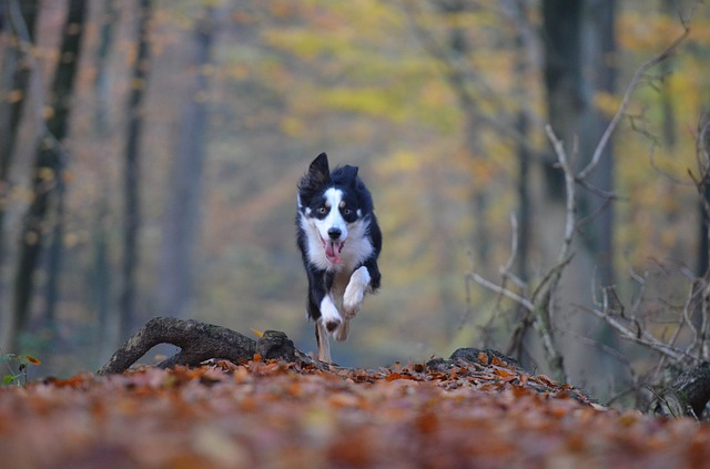Dog running toward camera
