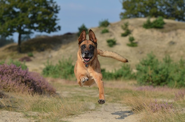 photo of a dog running towards the photographer